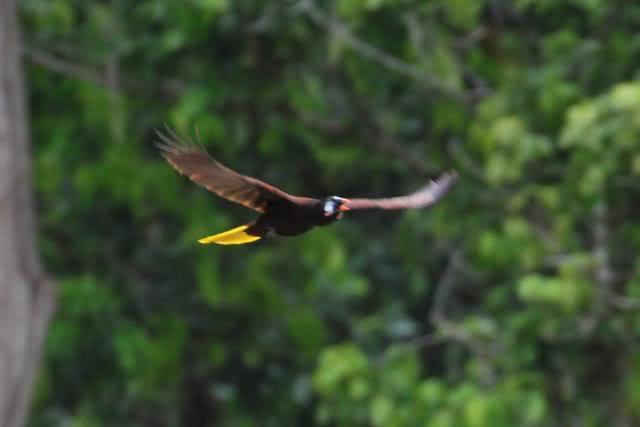 Парящая над берегами Гватемалы птица