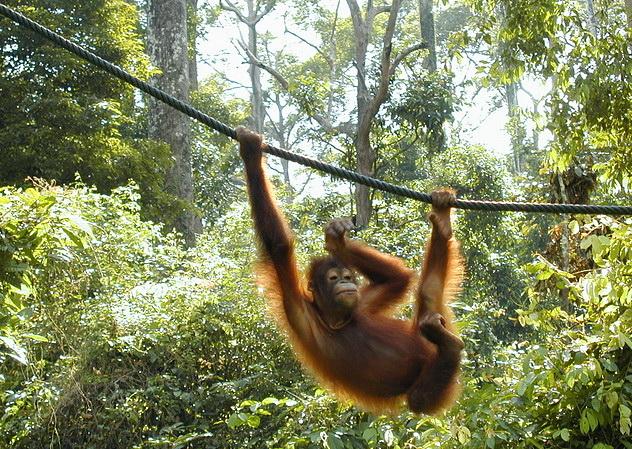 Молодой орангутанг в реабилитационном центре