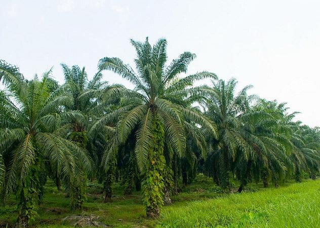 Пальмовые плантации Малайзии