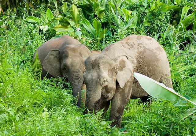 Слоны на острове Борнео