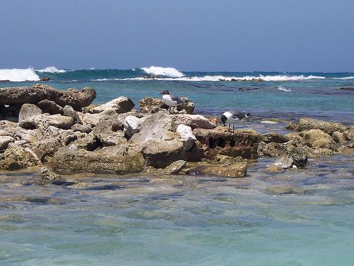 Чайки на побережье о. Аруба