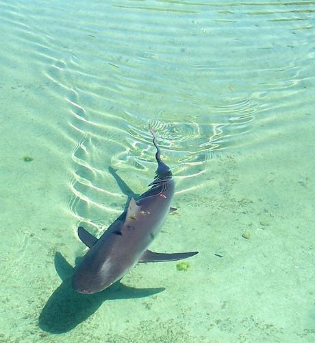 Акула в океане близ Багам