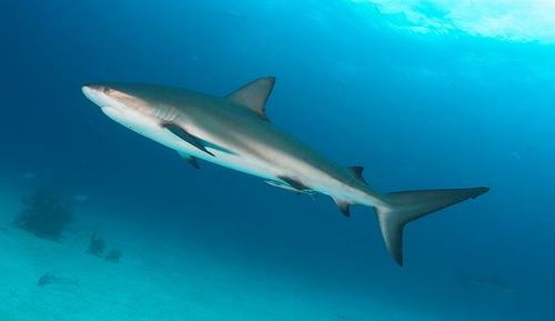 Грозная хищница-акула на Багамах