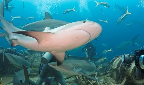Многие туристы приезжают на Багамы понаблюдать за жизнью акул