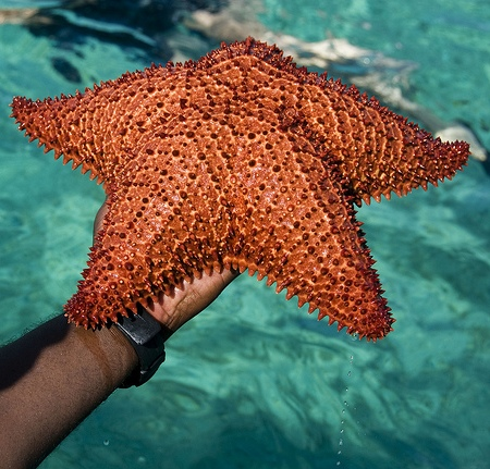 Морская звезда из океана, омывающего Багамы