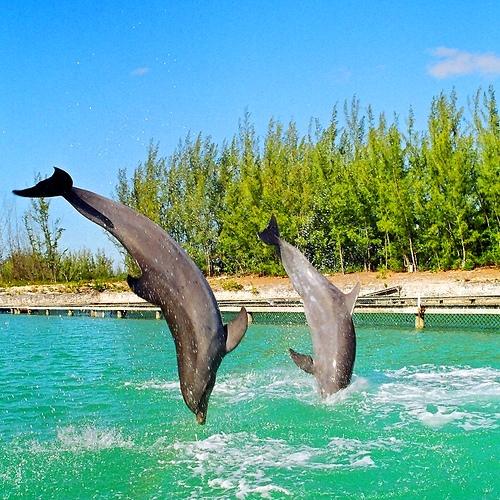 Дельфины на Багамах