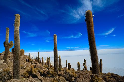 Кактусы Islade Pescado в Боливии