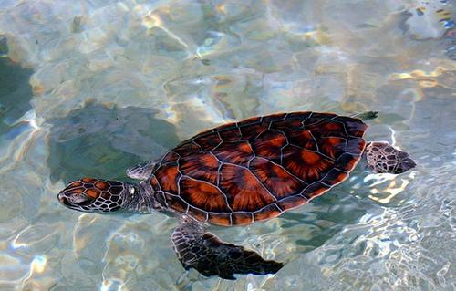 Морская черепаха в океане близ Каймановых островов