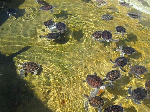 Стая из морских черепашек в водах Каймановых островов