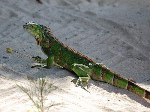 Игуана на побережье Каймановых островов