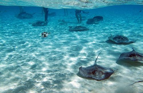 Скаты на морском дне Каймановых островов