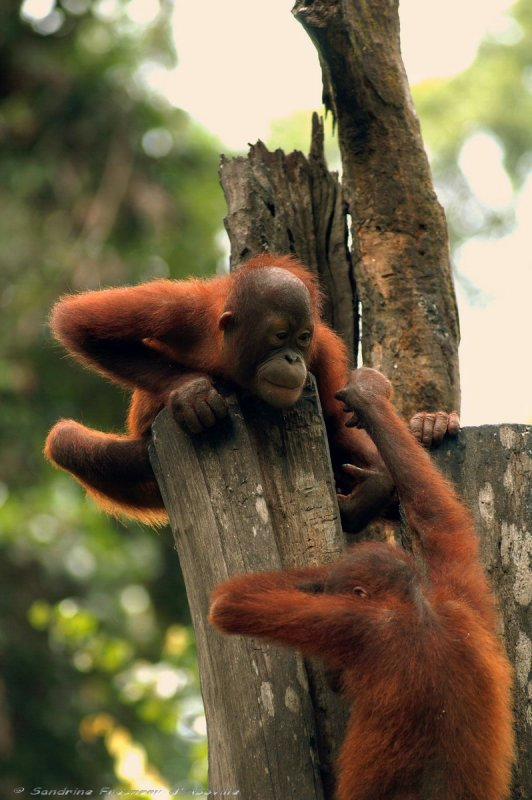 Ангола. Орангутанги
