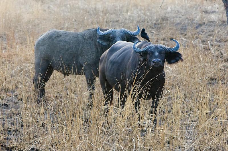 Бенин. Буйволы в Национальном парке Пенджари