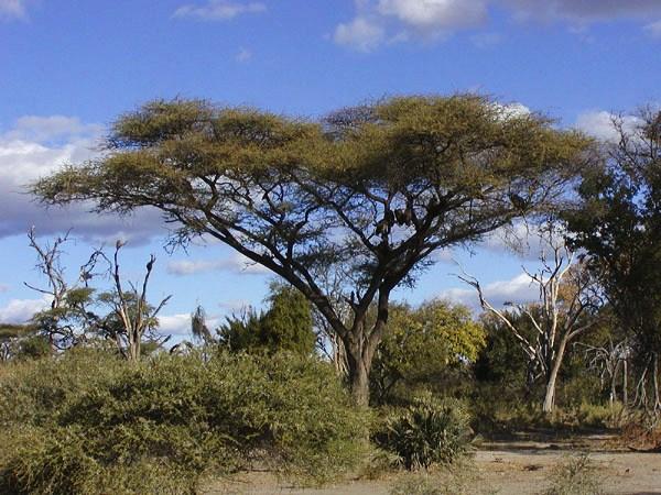 Ботсвана. Акация в виде зонта