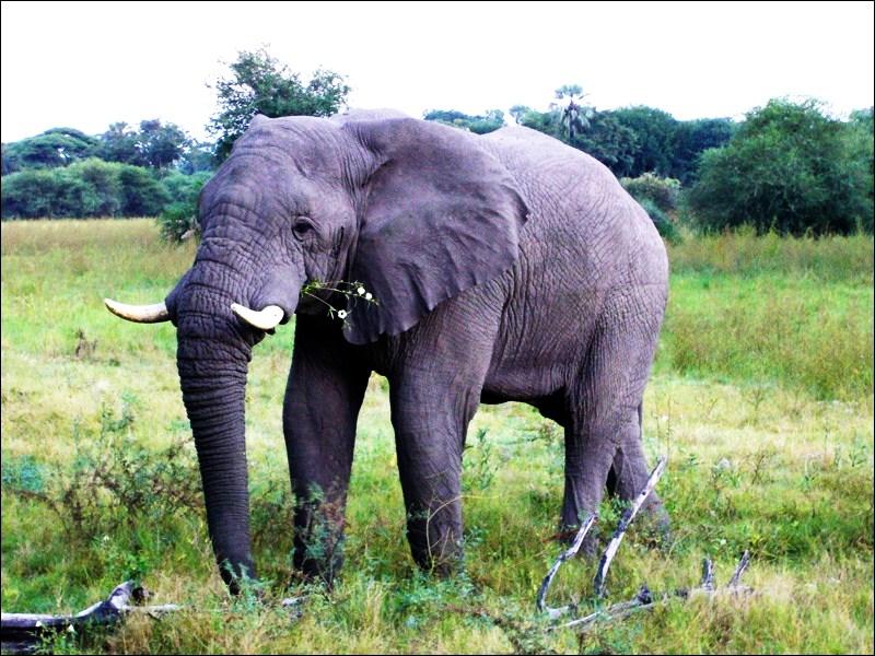 Ботсвана. Слон