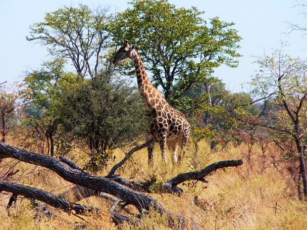 Ботсвана. Жираф