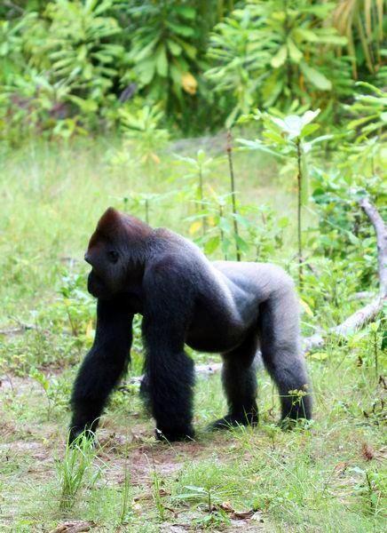 Габон. Национальный парк Лоанго. Горная горилла