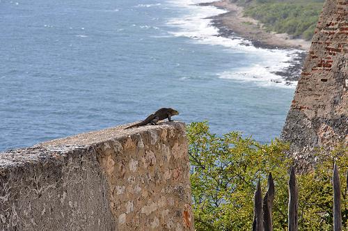 Игуана на побережье Кубы