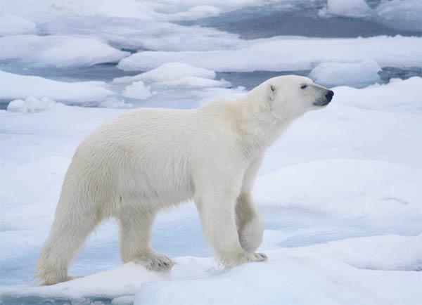Белый медведь - коренной житель Гренландии
