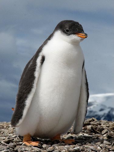 Пингвиненок на побережье Монсеррата