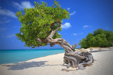 Дивные деревья на побережье Нидерландских Антильских о-вов