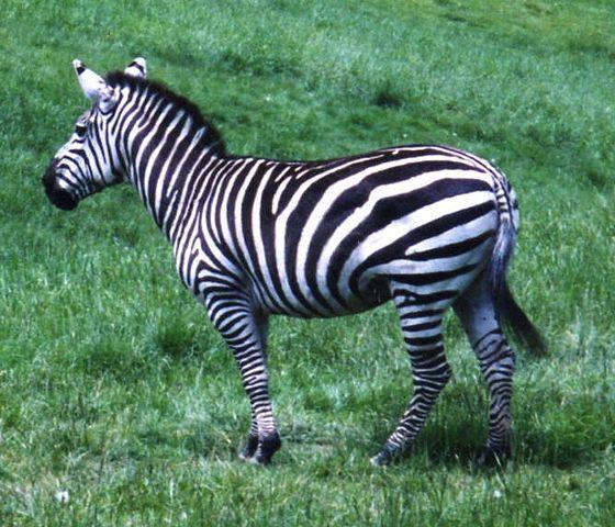 Зебра, обитающая на Острове Навасса