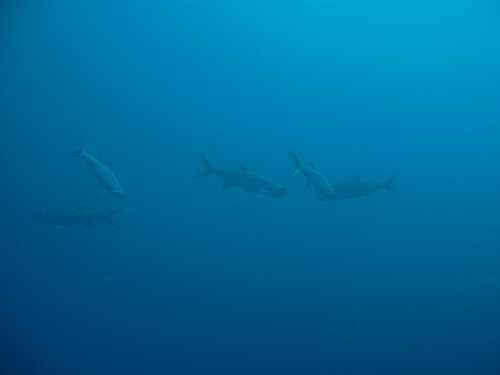 Акулы в океане Сен-Бартельми