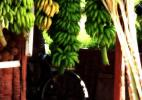 Бананы. Сахм