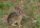 Заяц-ушкан