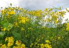 Дурман-трава - потому как пахнет на всю округу