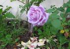 Роза с планеты Маленького Принца