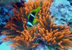 Красные анемоны на рифе Джексона