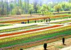 Сад тюльпанов Сирадж-Багх, Кашмир
