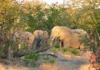 Слоны и их любимые деревья мопани, Ботсвана