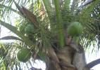 Так растут кокосы