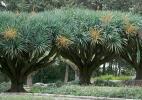 Диковинные деревья